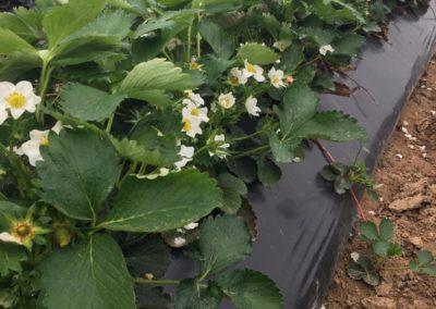 Erdbeeren auf Dammkulturen